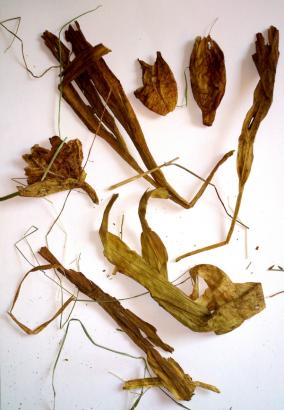 Foto: getrocknete Herbstzeitlose, die im Futterheu von Pferden gefunden wurde - Fotograf: privat